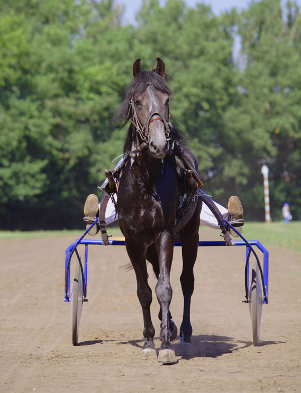 9. The Russian Trotter is the most common horse in Russia. A rather young breed officially recognized in 1949, the Russian Trotter is the result of crossing the Orlov Trotter and the American Standardbred.