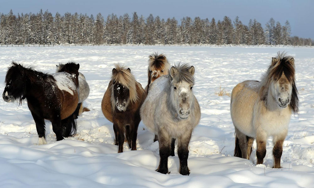 7. The Yakutian horse, developed mainly through natural selection, is strong enough to survive long and severe subzero spells. Its 15 cm hair allows it to live outside the whole winter long at temperatures creeping towards minus 60 C. Yakutian horse owners do not worry much about its diet: the horse is able to rake up grass from under deep snow.