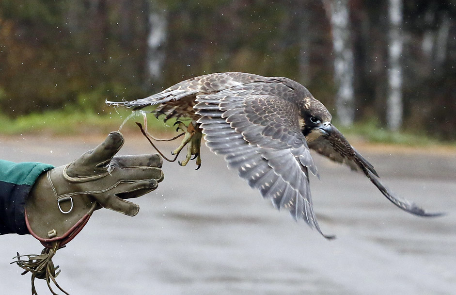 Daria Zhirnova, an employee of the ornithological department of the Royev Ruchey Zoo, releases Sapa, young female Asian peregrine falcon, also known as Sapsan in Russia during a training session outside the Siberian city of Krasnoyarsk, Russia, October 21, 2015. Sapa and its brother peregrine Sky are involved in the zoo project to tame wild animals for research and their interaction with visitors, according to zoo employees.