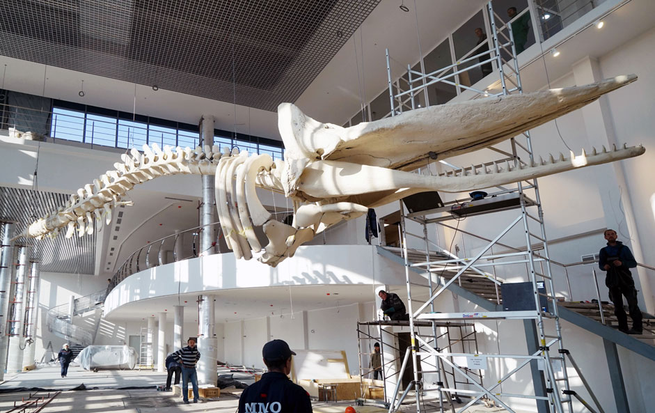 The skeleton of Russia's biggest sperm whale is installed as construction of the new building of the World Ocean museum in Kaliningrad continues. The skeleton is 17 meters long and weighs 2.5 tons.