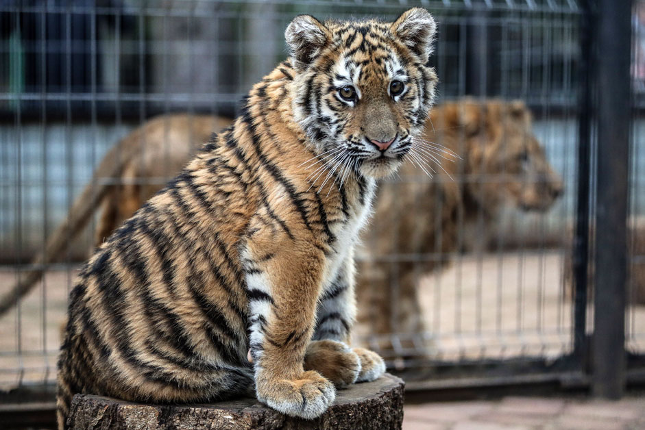 Tiger cup Stepan (front) and a tion (or liger) at Prostar+, a rehabilitation centre for wild animals. Moscow police have assumed patronage of the tiger cub who was rescued from poachers in Nizhnevartovsk.