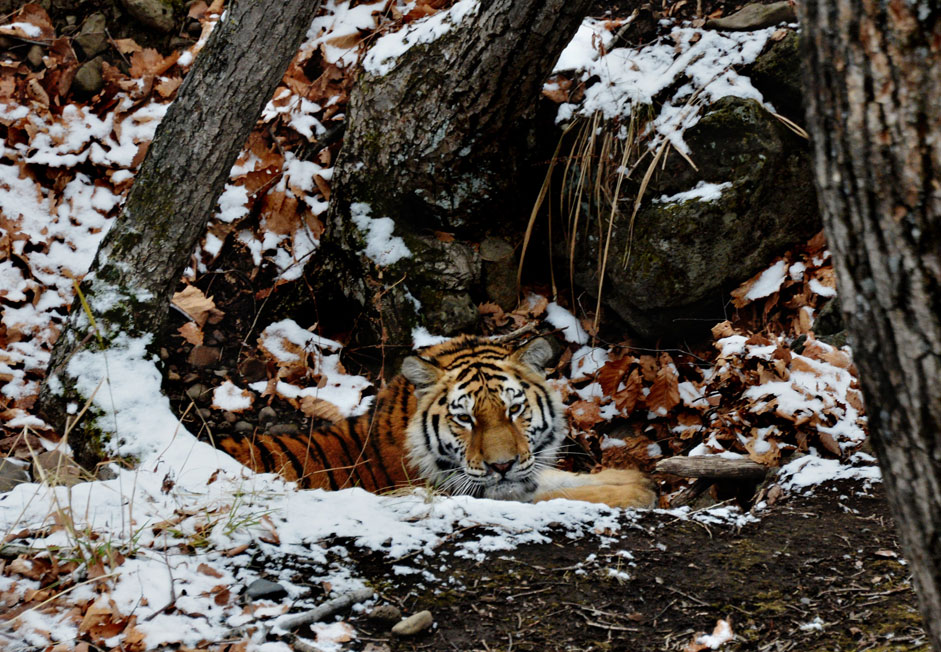Young Amur tiger, brought from the nursery of the Moscow Zoo, mastered in a safari park