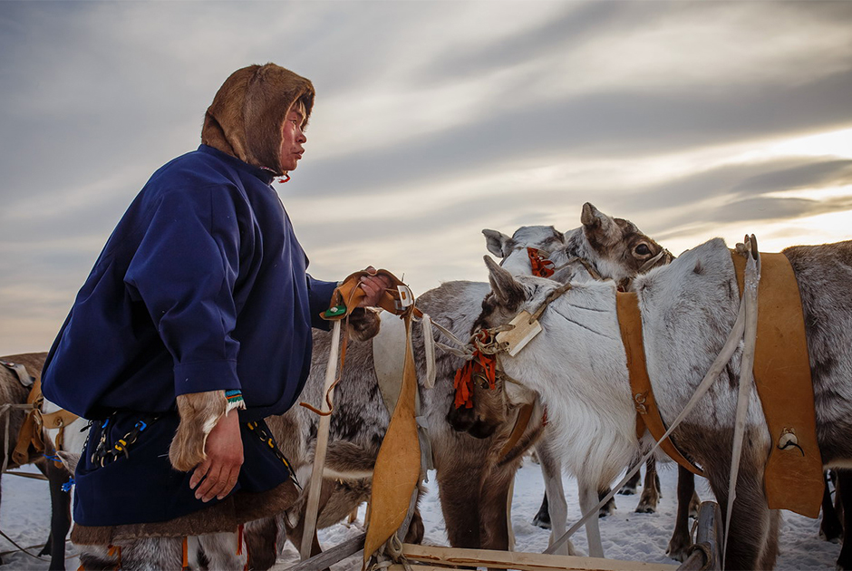 « L'élevage de rennes est courant chez les habitants, en particulier les Nenets, un petit groupe ethnique nordique. Pour eux, les rennes représentent de la nourriture, un moyen de transport et des vêtements ».