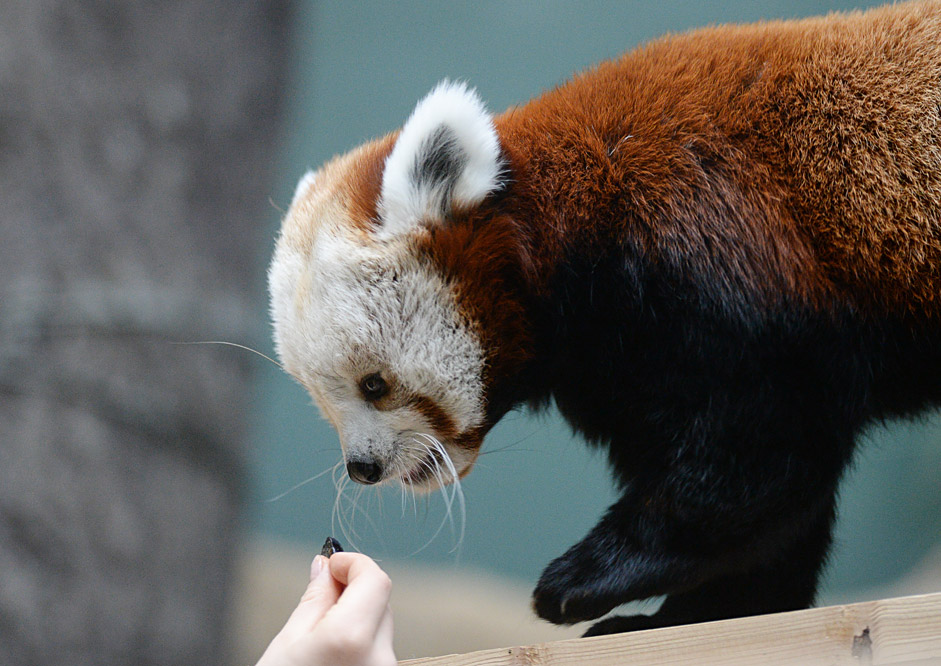 Zein, a female red panda at the Moscow Zoo.