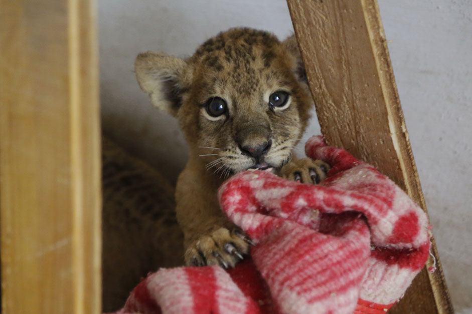Lion cubs are covered with blankets to warm up at Safari Park Taigan in Belgorodsky District in Crimea. The animals have been in danger due to disrupted power supply.