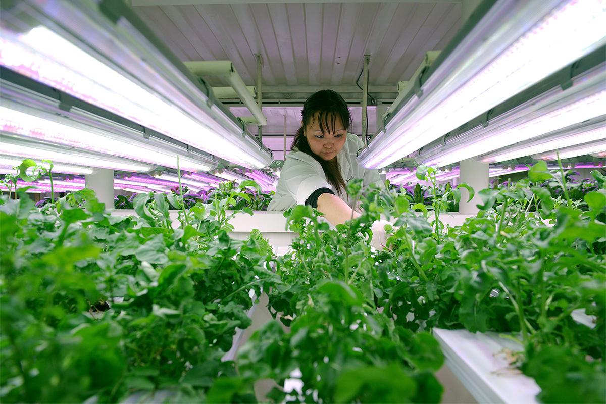 Tu je i staklenik u kojem se svakodnevno uzgaja otprilike 25 kilograma svježe salate.