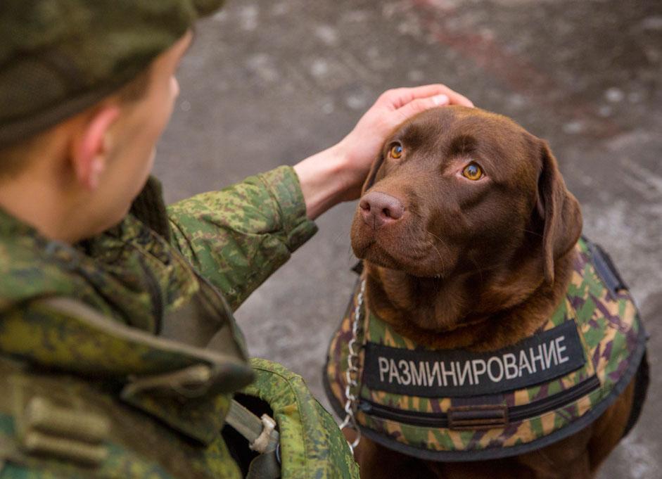 Презентација на заштитната униформа за кучињата од расата норд што ја креираше научно-истражувачката организација за специјални материјали. Униформата ги штити службените кучиња од куршуми, убоди и од шрапнели од бомба.