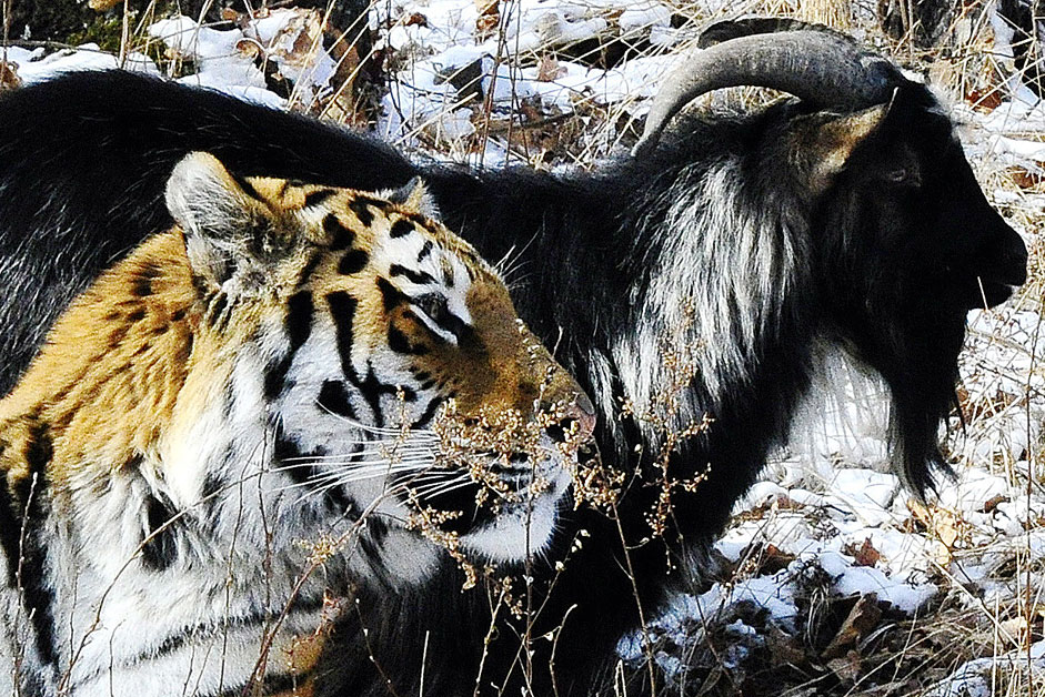 Amur, a Siberian tiger, and Timur, a goat, in Safari Park in the village of Shkotovo. Tigers are fed with live animals twice a week. They use their instincts while hunting the prey. But instead of eating Timur, Amur befriends the goat, Primorye Territory, Nov. 27, 2015.