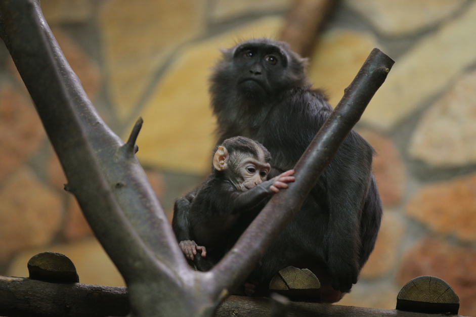 A baby of a rare species of the black macaque born in St. Petersburg Zoo.