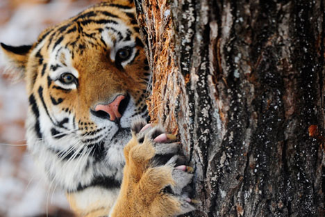 Amur, a Siberian tiger, in Safari Park in the village of Shkotovo, Dec. 6.