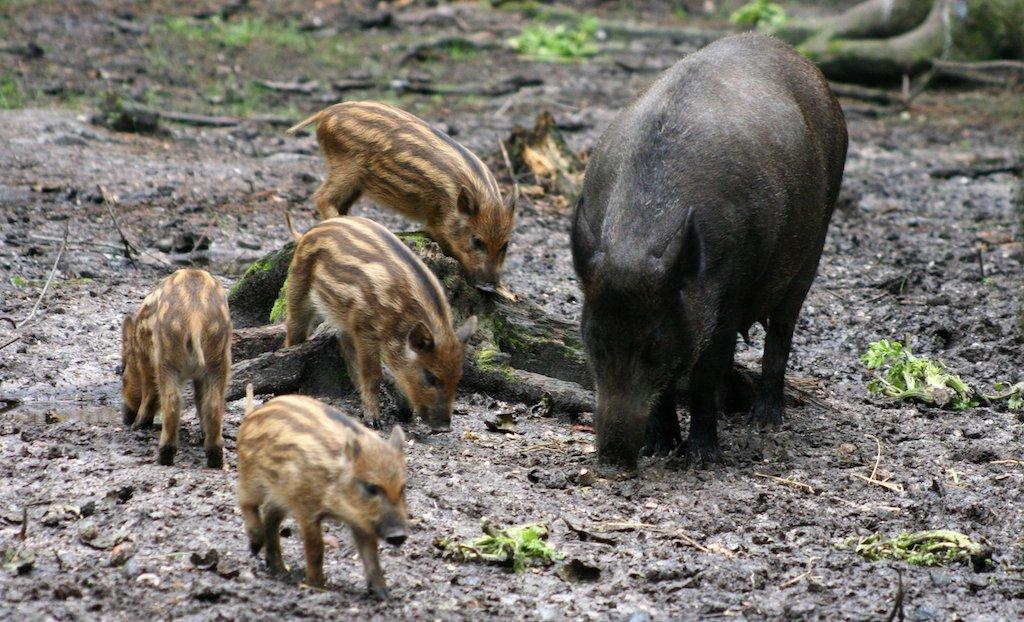 Дивље свиње, зоолошки врт у Вороњежу.