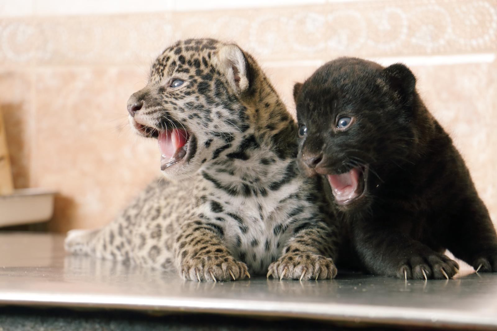 ジャガー、サンクトペテルブルク動物園
