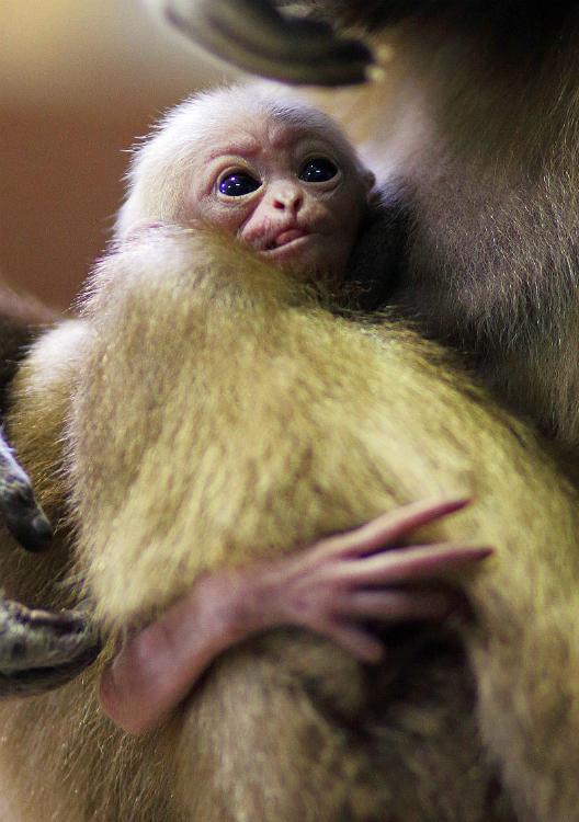 Gibbone dalle mani bianche, zoo di San Pietroburgo