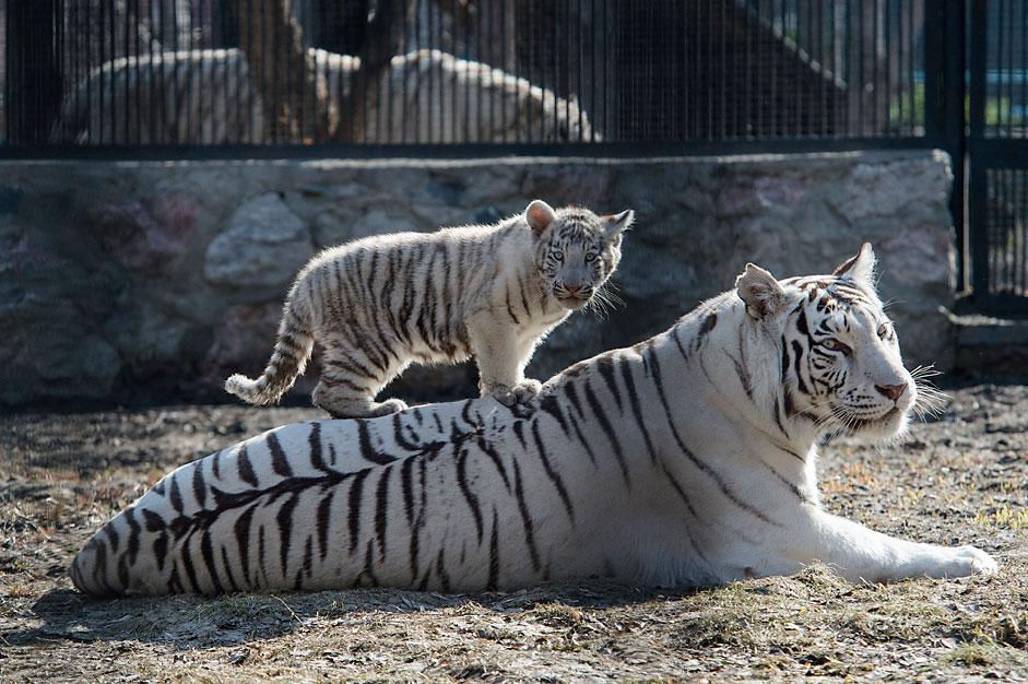 ベンガルトラ、ノボシビルスク動物園