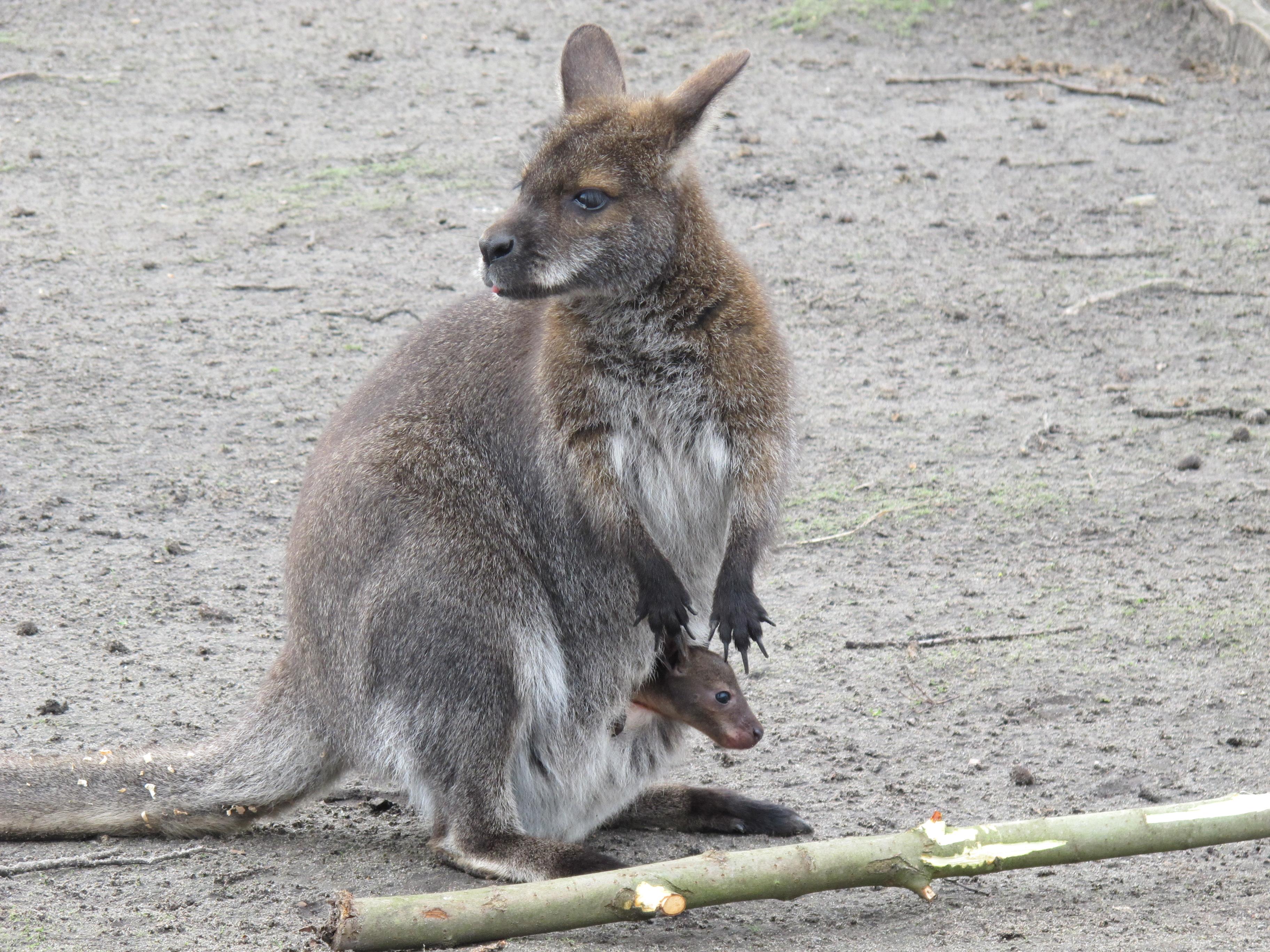 カンガルー、カリーニングラード動物園