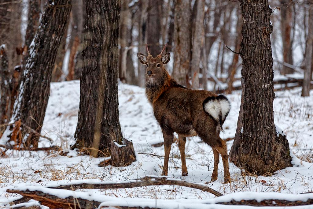 国立公園の若いアクシスジカ