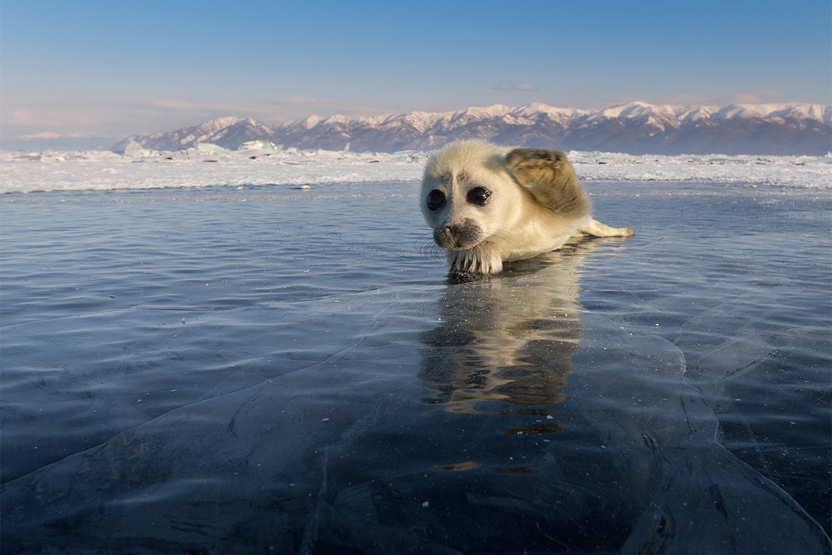 Hi, I'm a seal pup! I live at Lake Baikal in Siberia. I wish all RBTH readers a happy, cheerful and joyful New Year!