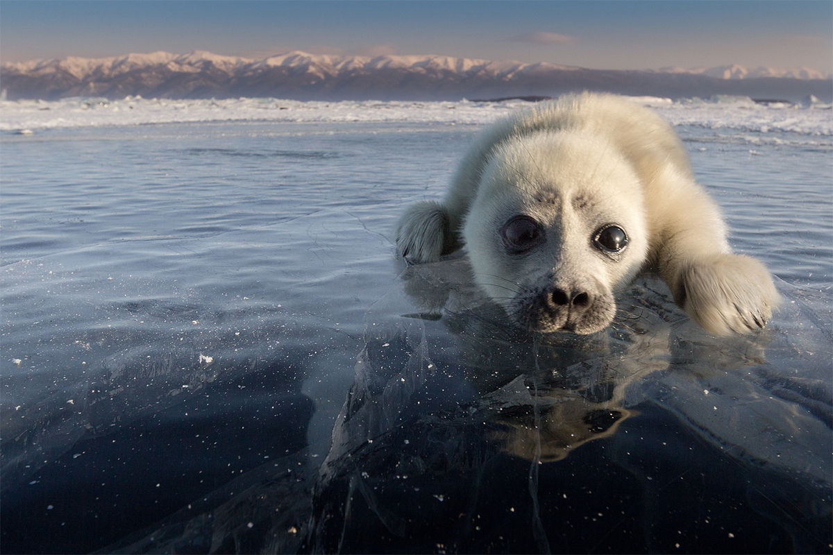 As for me, I'm a seal pup and live at Lake Baikal, the largest freshwater reservoir in the world. The lake covers an area about the size of Belgium.