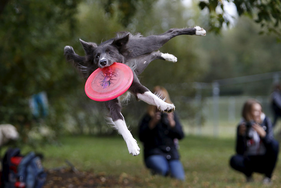 A dog catches a frisbee during a dog frisbee competition in Moscow,September 13, 2015. Dogs and their owners took part in a variety ofdistance and accuracy tests during the competition to check theirfrisbee skills.