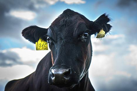 Une vache à une ferme d'élevage dans la région de Léningrad.