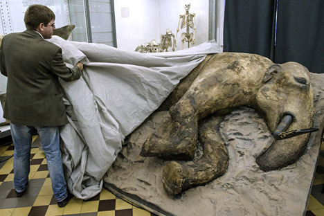 A stuffed young male mammoth found in August 2012 in the estuary of the Yenisei river in Taymyr Peninsula is presented in the Whale Room of the Zoological Museum in St. Petersburg. The carcass of the 15-year-old adolescent mammoth was found by Zhenya, a son of a Nenets caribou breeder, thus the extinct animal was called after the boy's name.