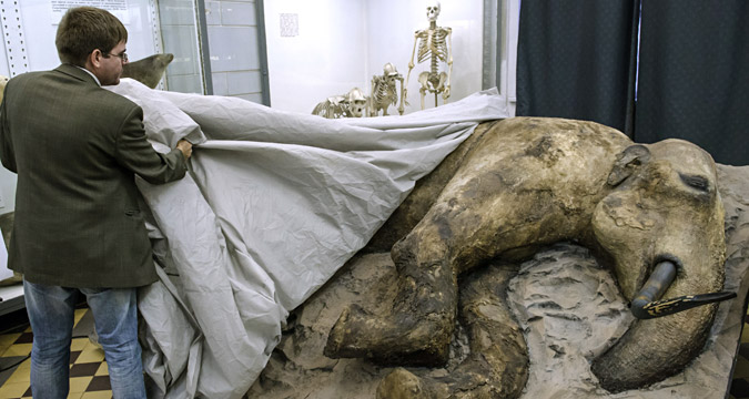 A stuffed young male mammoth found in August 2012 in the estuary of the Yenisei river in Taymyr Peninsula is presented in the Whale Room of the Zoological Museum in St. Petersburg.