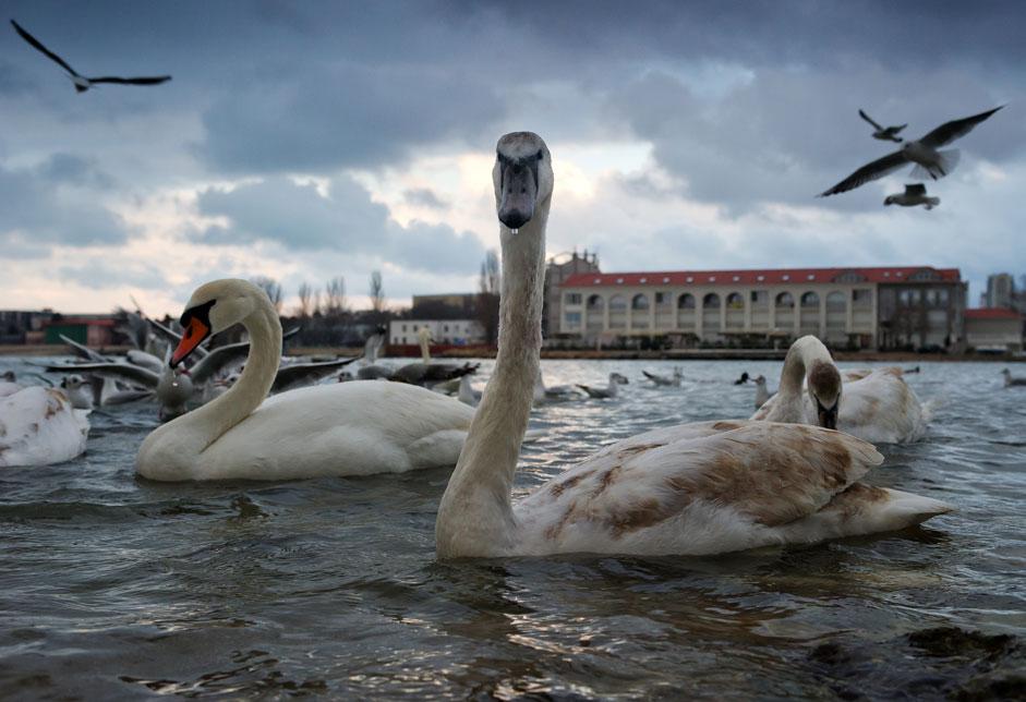 Swans in Omega bay in Sevastopol