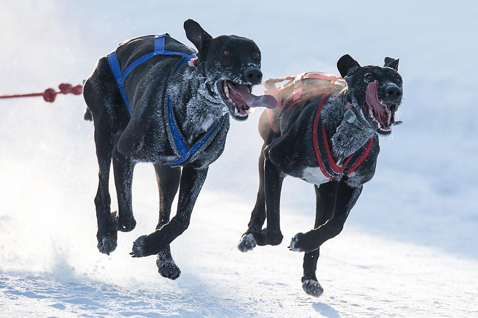Участники Открытого чемпионата Омской области по снежным дисциплинам ездового спорта на собаках (этап кубка Сибири) во время соревнований в поселке Крутая горка.