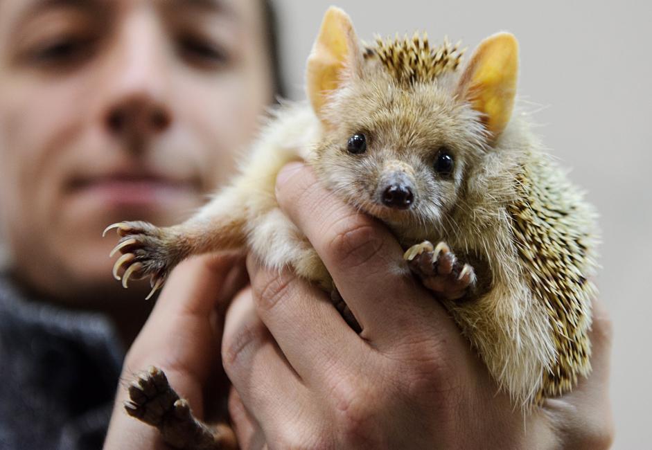 Таралежът Пуговка (Копче) от Екатеринбургския зоопарк. Работниците в него вярват, че поведението на животинката предсказва кога ще дойде пролетта.