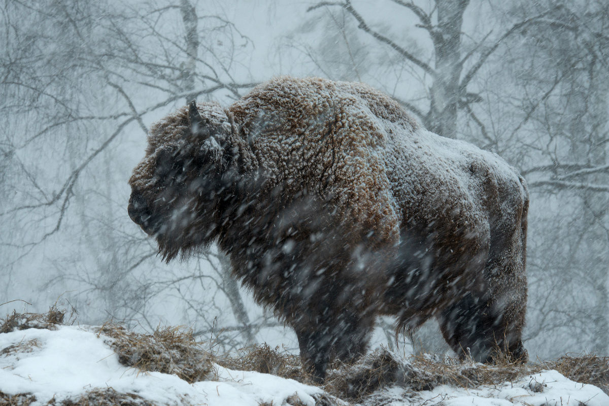 Mammals nomination. / Bison transplants to Siberia can now easily endure the winters in Altai, a southern, but mountainous region of Russia.