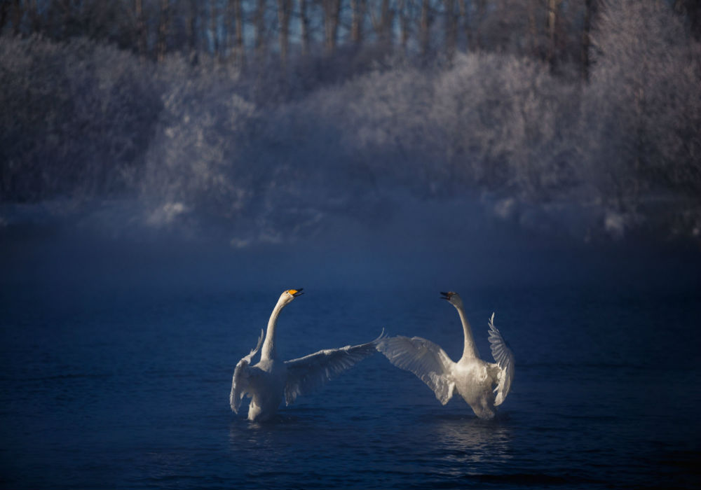 Birds nomination. / Swans on Svetloe Lake, which doesn't freeze in winter because of its springs. Altai Mountains.