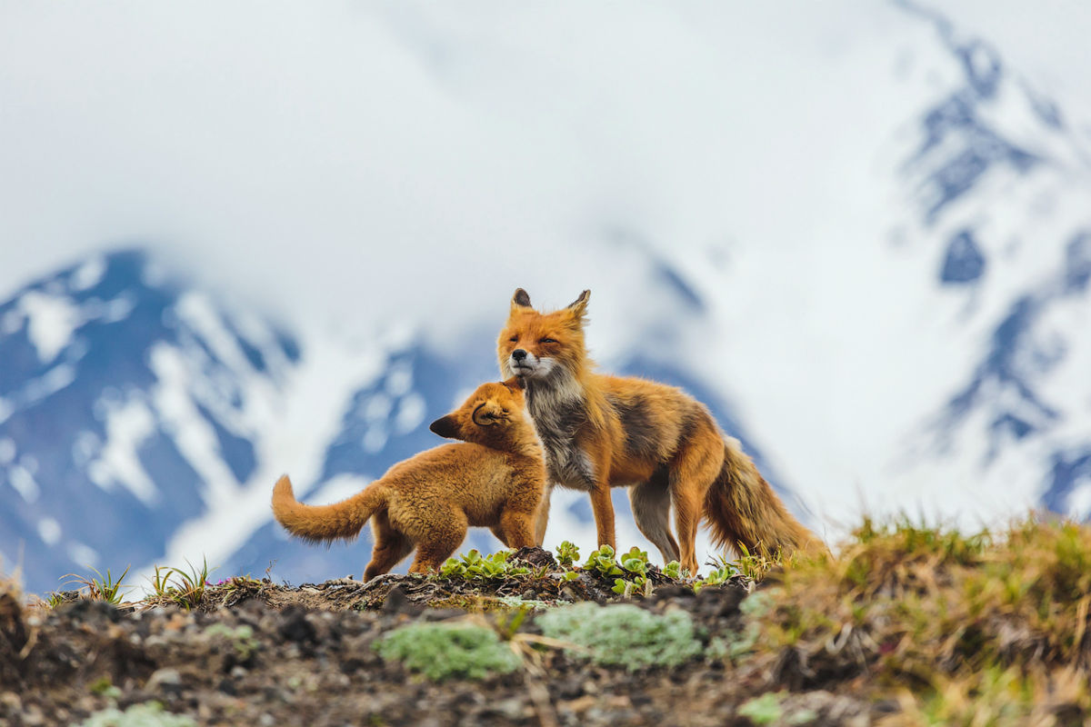 "The Wild Nature of Russia photo competition has been held annually by ""National Geographic Russia"" with the participation of the Russian Geographical Society since 2011. The winners of the competition 2015 have been announced and we will show you the best of the best here. Here are 12 of the winning photos.Mothers and cubs nomination. / A mother fox plays with one of her 8 cubs."