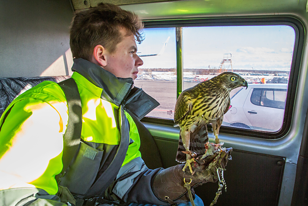 Ornithological Service member with a goshawk at Domodedovo Airport, Moscow Region. Raptors such as goshawks help control the number of birds at the airport and surrounding areas.