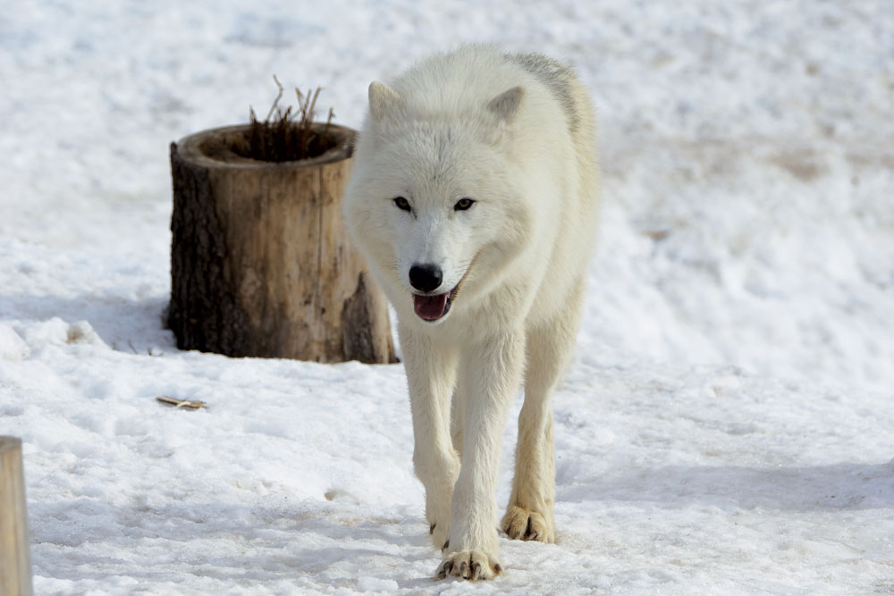 It is the only place in Russia to hold white arctic wolves. No wonder this harsh yet beautiful beast is the zoo's symbol.
