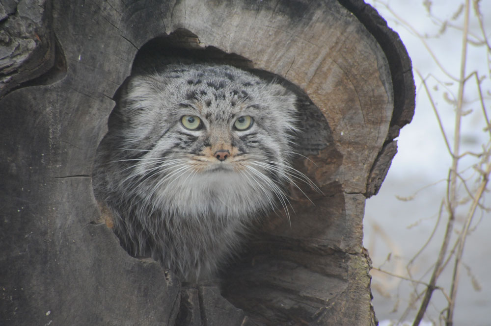 30 years ago the zoo chose its resident manul (Pallas's cat), a rare Central Asian wild cat, as its symbol. A non-trivial decision.