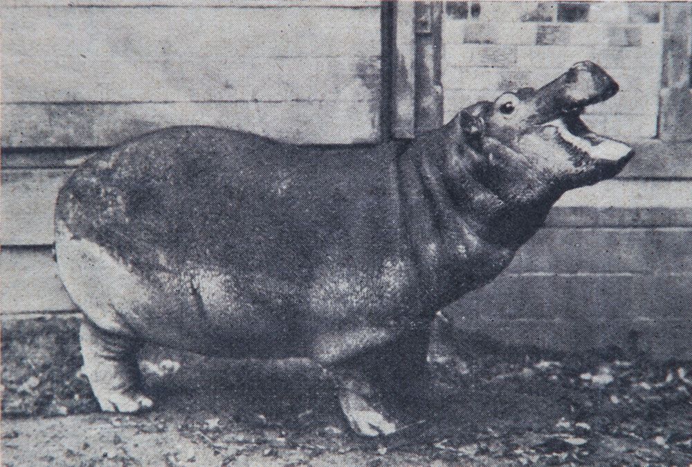 Only four animals survived the war, among them was the hippopotamus Hans, who was saved by the Soviet vet Vladimir Polonsky.