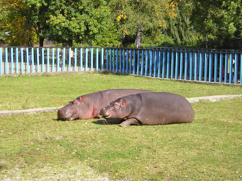 The zoo now is home to several hippos, which are officially the symbols of the zoological garden.