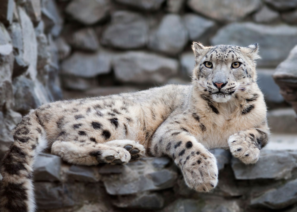 Its mascot is the gorgeous snow leopard.