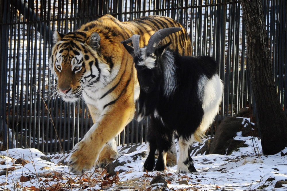 The friendship between the tiger Amur and the goat Timur, living together in a safari park outside the Russian Pacific port city of Vladivostok, has been covered by almost all global media.