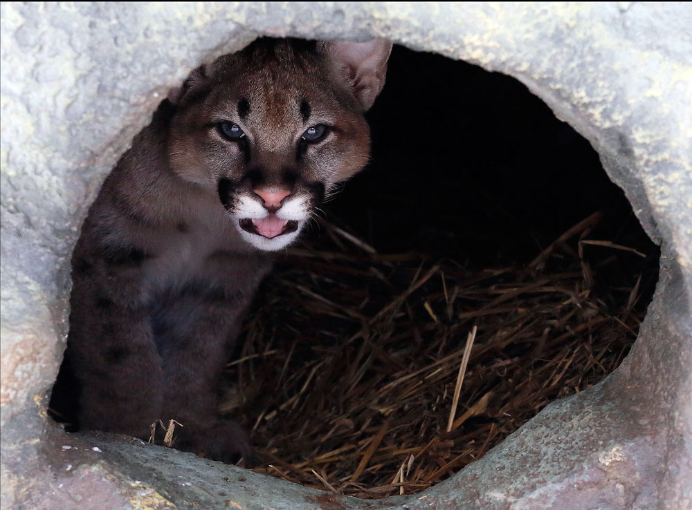 A four-month-old North American cougar cub looks out from its den in the Royev Ruchey zoo on the suburbs of the Siberian city of Krasnoyarsk, Russia