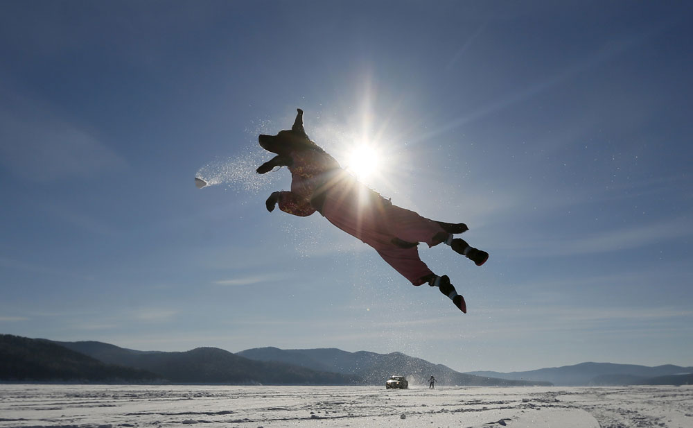 A Labrador retriever jumps for a snowball while playing with its owner, with a car towing a snowboarder seen in the background, on the frozen surface of the Yenisei River, with the air temperature at about minus 20 degrees Celsius (minus 4 degrees Fahrenheit), outside Krasnoyarsk, Siberia, Russia, February 13, 2016.