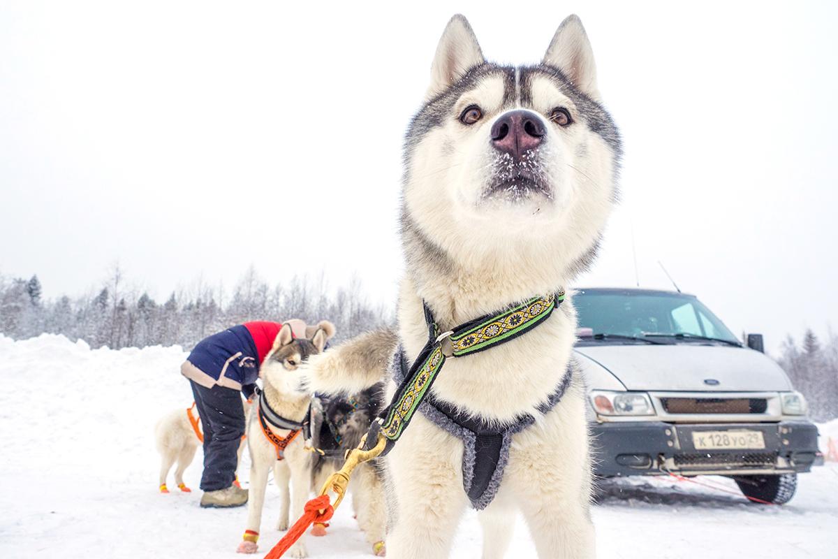 めかしこんだら、寒い表へと飛びこみ、カレリア共和国(ロシア北西部)の無限に続く森のレースに向けて犬を準備する。
