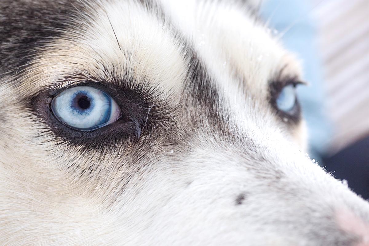 Morda se to sliši noro, vendar so pasje dirke s sanmi na ruskem Severu zelo priljubljen šport.