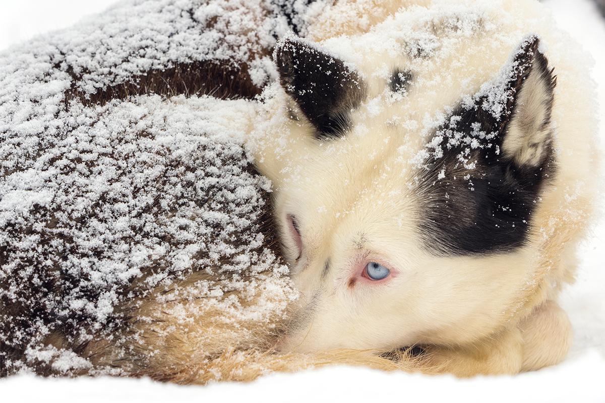 ごく少数の犬種にしか、このようなレースに耐えられる力がない。通常は、青い目のシベリアンハスキー、マラミュート、大きなサモエドが主要な参加犬だ。