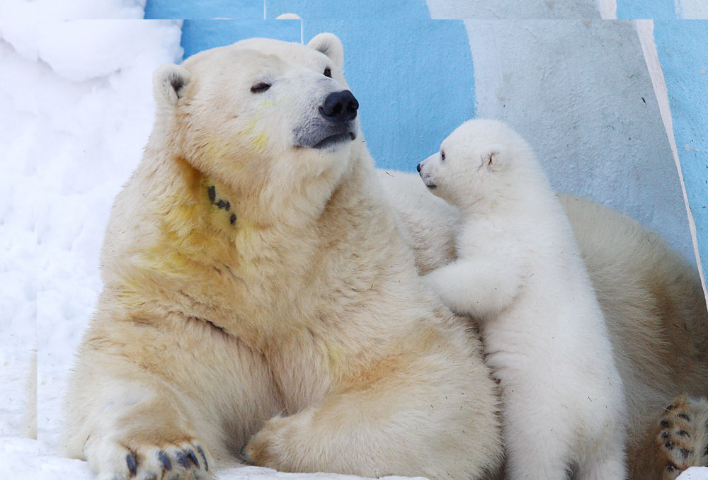 NOVOSIBIRSK, RUSSIA. FEBRUARY 27, 2016. A polar bear named Gerda and a polar bear cub in the Novosibirsk Zoo.