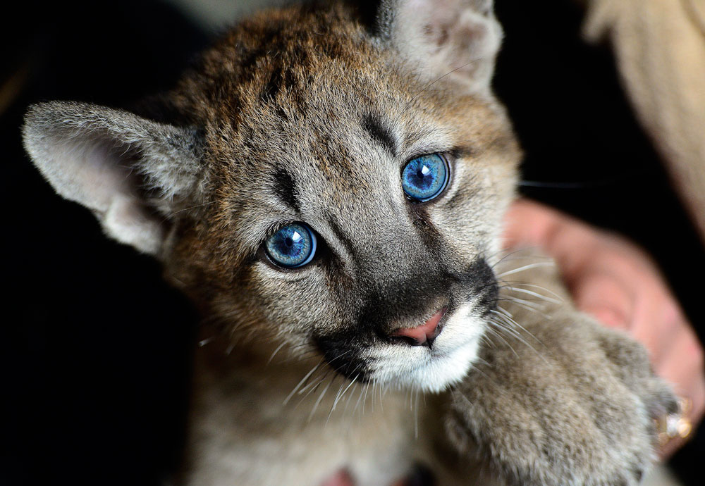 A three month old puma cub, Prince Foru, in the village of Borisovka, near the city of Ussuriysk. The animal travelled some 7600km by plane from the city of Krasnodar in south-west Russia to Moscow, and from Moscow to Vladivostok, on Russia's Pacific Coast