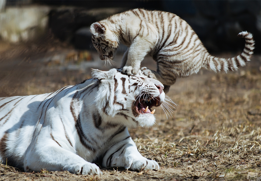 White Bengal tiger cub playing with his mother in an open-air cage in Novosibirsk Zoo.