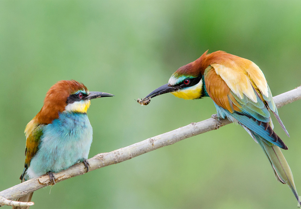 Male European bee-eater trying to get the attention of his chosen one.