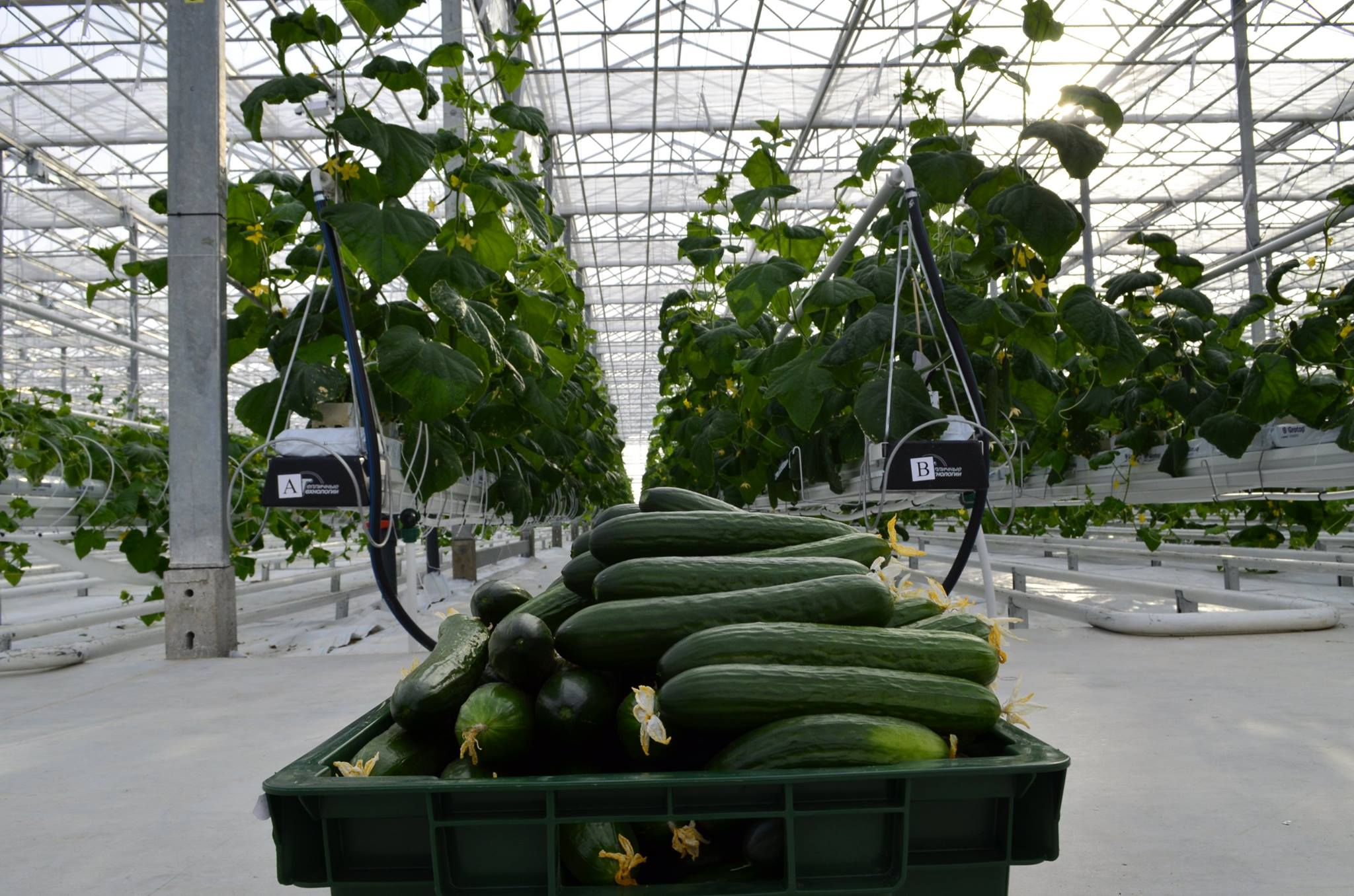 JSC Green's greenhouse in the Khabarovsk priority development area. Source: Facebook/ JGC Evergreen