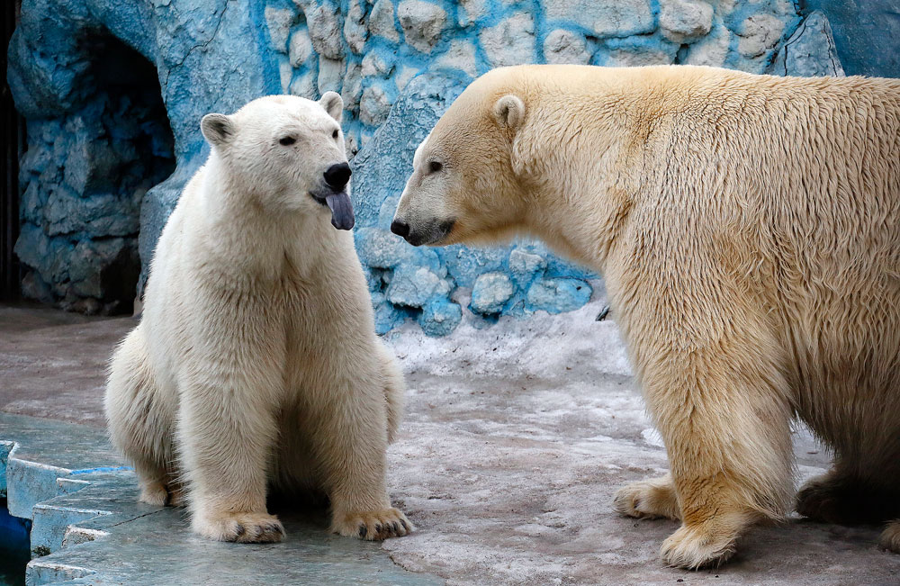A couple of polar bears, Felix (L), a nine-year-old, and Aurora, a six-year-old, is seen inside its enclosure at the Royev Ruchey Zoo in Krasnoyarsk, Siberia, Russia